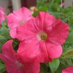 少し雨が降ってます。#color #shape #flower
